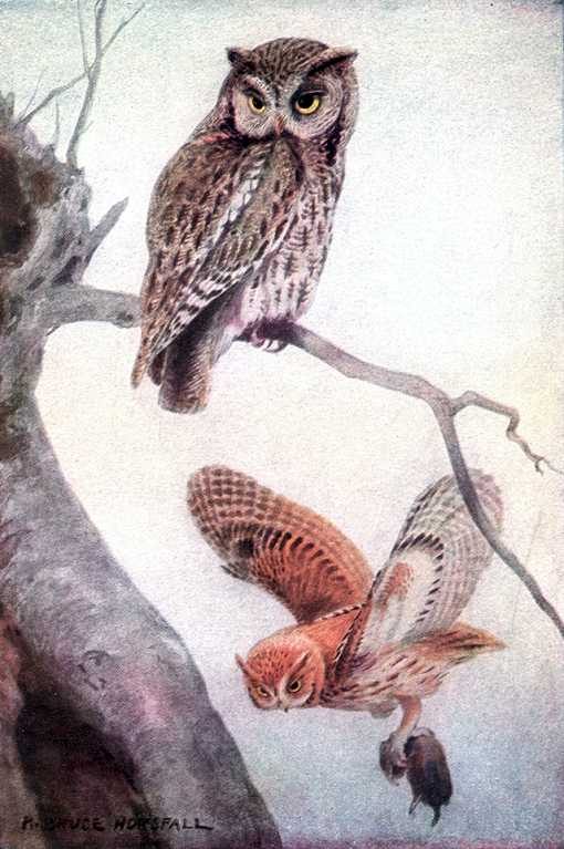 Painting of a screech owl perched near its tree cavity and another flying with a rodent in its talons.