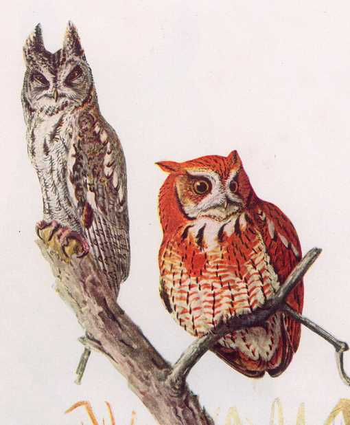 Painting of two screech owls, one in grey phase and one in red phase perched in a tree top.