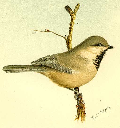 Illustration of a Siberian chickadee perched on a tree branch