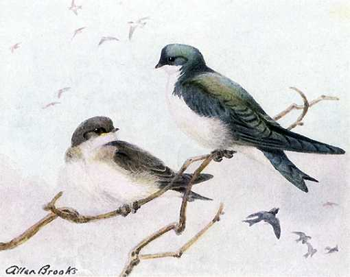Painting of tree swallows perched high in trees and flying.