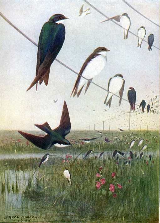 Painting of hundreds of tree swallows on cattails in a marsh and on high line wires overhead.