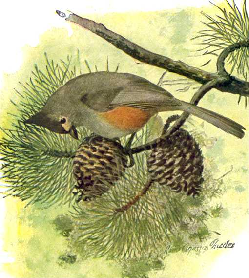 Painting of a tufted titmouse foraging for pine cone seeds on a longleaf pine tree.