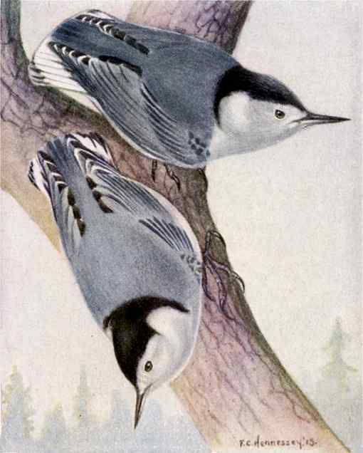 White-breasted nuthatches perched on a tree trunk with a distant coniferous forest background.