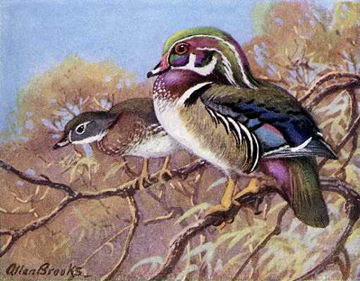 Painting of wood ducks perched in a tree overhanging water.