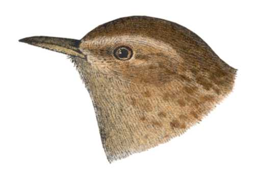 Visit the winter wren species page.