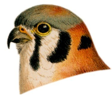 Visit the American kestrel species page.