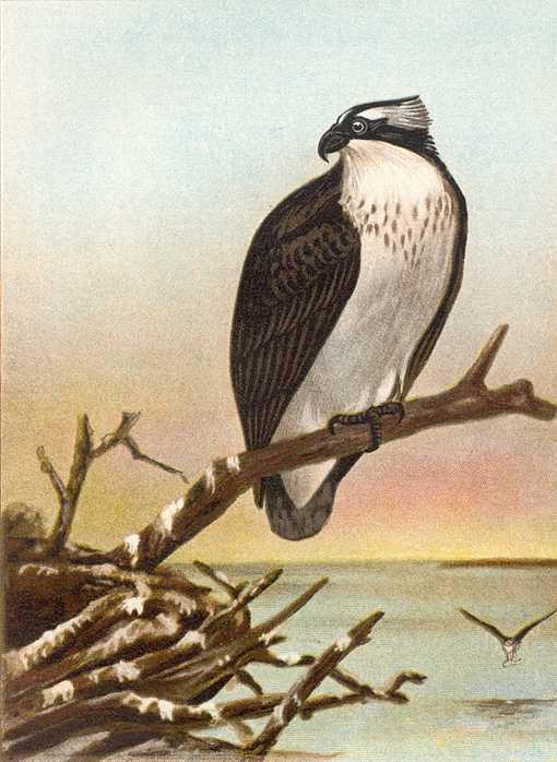 Painting of an osprey perched on a large stick in a pile next to a lake background.