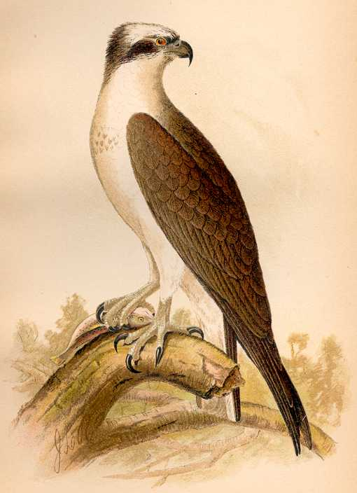 Illustration of an osprey perched on a fallen log.