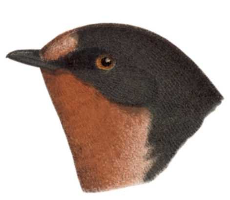 Select to view the barn swallow species page.