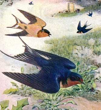 Visit the barn swallow species page.