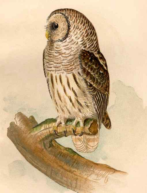 Painting of barred owl perched on a tree stump.