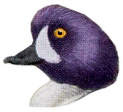 Visit the Barrow's goldeneye species page.