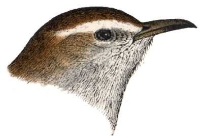 See species information for Bewick's wrens