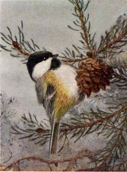 A black-capped chickadee perched on a pine cone in a tree against a foggy wintery background