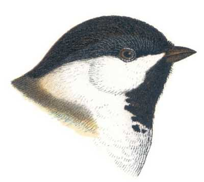 See species information for black-capped chickadees
