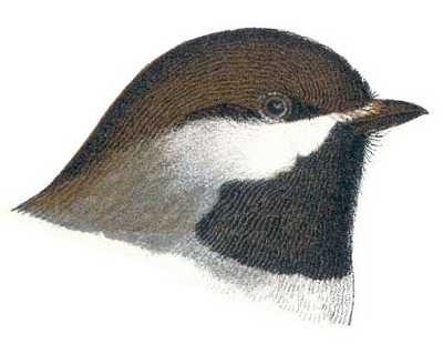 See species information for boreal chickadee