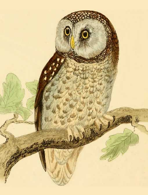 Painting of a boreal owl perched on a tree branch.
