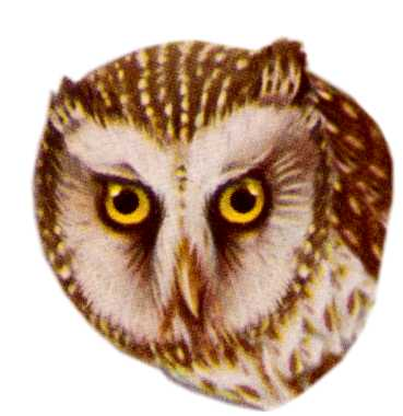 Visit the boreal owl species page.
