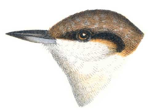 Painting of a brown-headed nuthatch head.