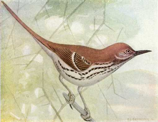 Painting of a brown thrasher perched on a tree branch in typical tail up stance.