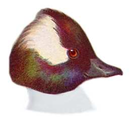 Visit the Bufflehead species page.