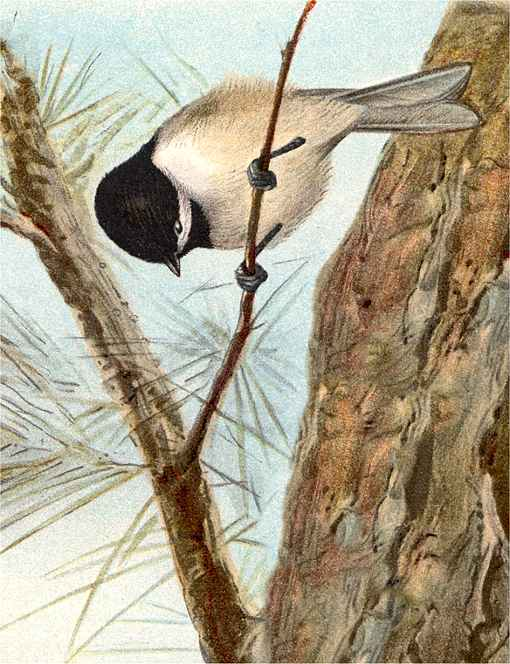 Painting of a Carolina chickadee gripping a twig not thicker than its own legs