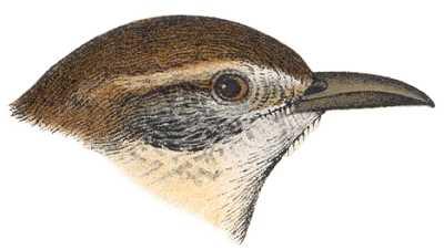See species information for Carolina wrens