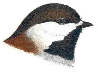Select to read information for chestnut-backed chickadees.