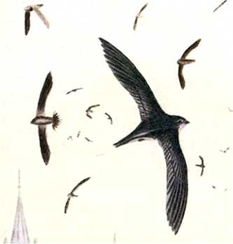 Visit the chimney swift species page.