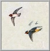 Visit the cliff swallow species page.