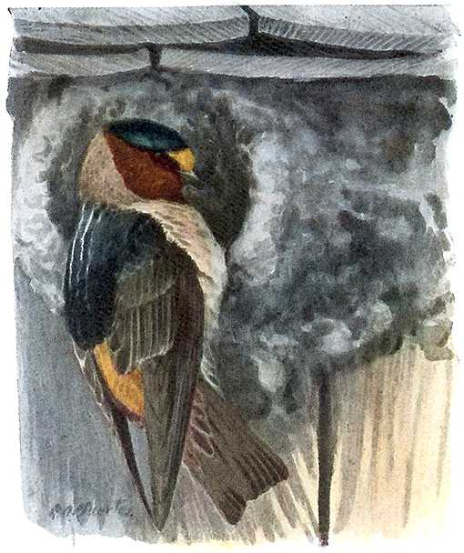 Painting of a cliff swallow perched at a mud nest entrance.