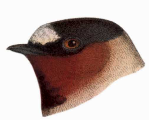 Select to view the cliff swallow species page.