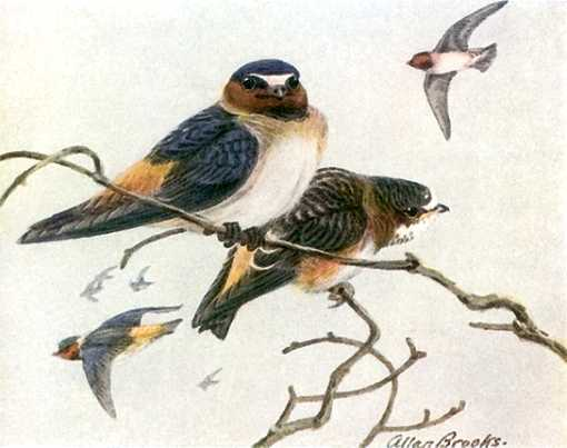 Painting of cliff swallows perched high in a tree and flying.