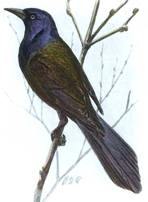 Painting of a grackle perched on a bush twig.