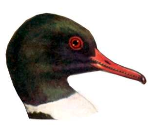 See species information for the common merganser