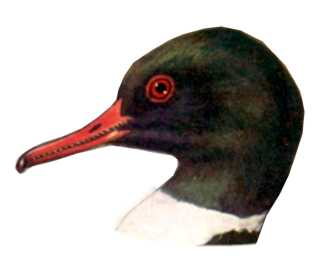 Visit the common merganser species page.