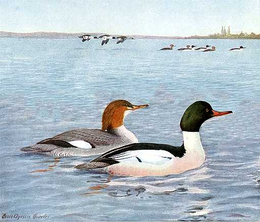 Painting of common mergansers in a large lake with flying duck flocks and a distant shore in the background.