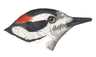 Downy Woodpecker Head