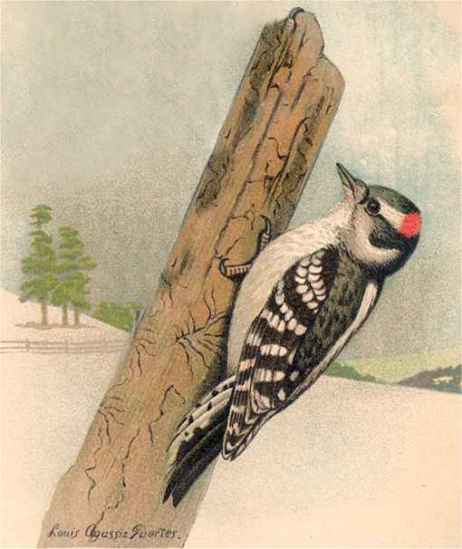 Painting of a downy woodpecker clinging to the side of a tall tree stump against a snowy wintery background.