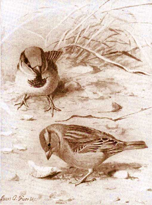 Painting of english sparrows foraging on the ground.