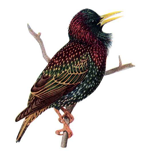 Painting of European starling perched on a thin branch.