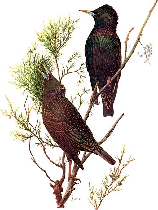 Painting of European starlings foraging a small plant.