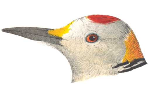 Color illustration of a male golden-fronted woodpecker head.
