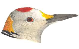 Visit the species information page for golden-fronted woodpeckers