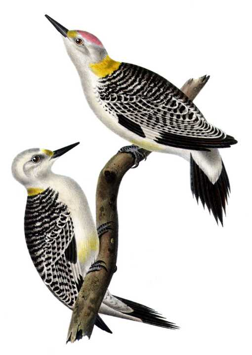 Painting of two golden-fronted woodpeckers perched on a tree trunk.