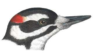 See species information for hairy woodpeckers