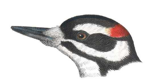 Visit the hairy woodpecker species page.