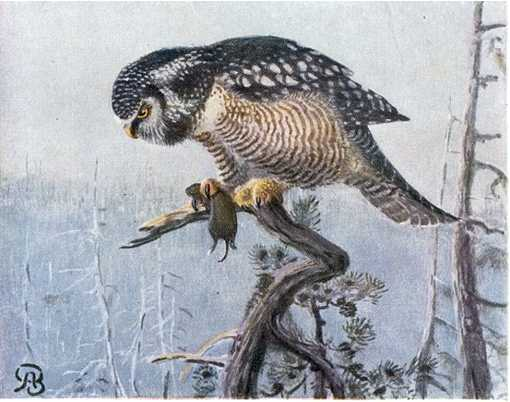Painting of a hawk owl perched in a tree top in a forest with a rodent prey in its talons.