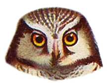 Select to visit Hawk Owl species page.