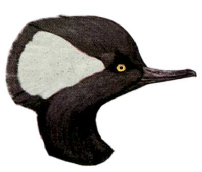Select to view the Hooded Merganser web page.
